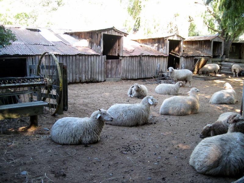 海外ツーリング ニュージーランド ロード オブ ザ リング オートバイレンタル クライストチャーチ ウィローバンク動物園 ゴロゴロとマイペースな羊たち @Willowbank Wildlife Reserve