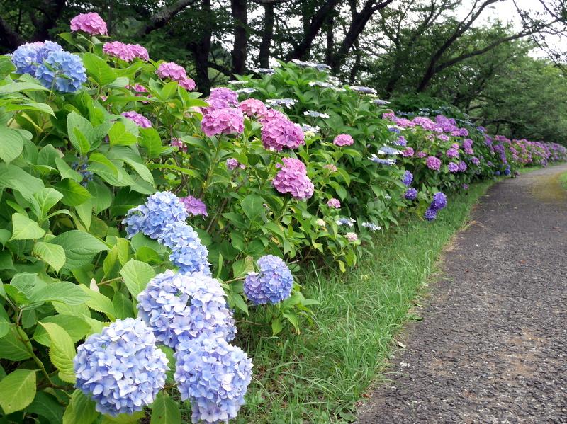 那賀川沿いの紫陽花 @松崎